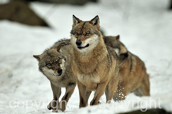Wolf - Canis lupus, in der Ranzzeit