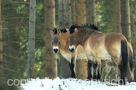 Przewalski Urpferde im winterlichen Wald