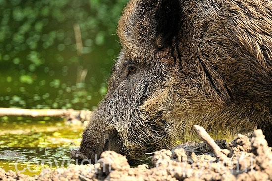 a Wildschwein-Bache an der Suhle
