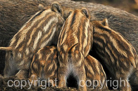 Wildschwein-Frischlinge beim Säugen