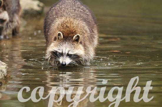 Waschbär auf Futtersuche am Wasser