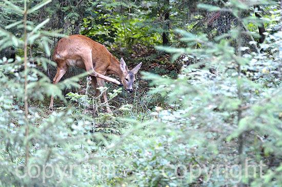 Schmalreh im Wald