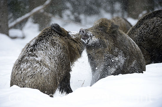 Wildschweine im Winter