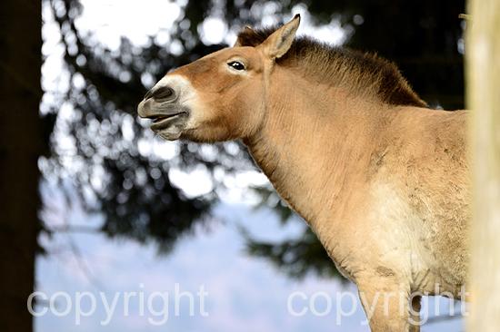 Przewalski Wildpferd