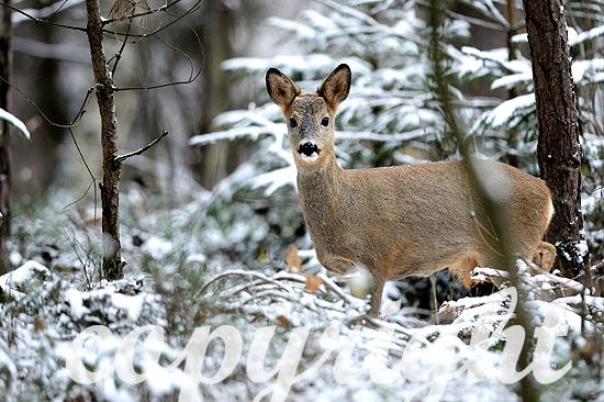 Reh im verschneiten Wald