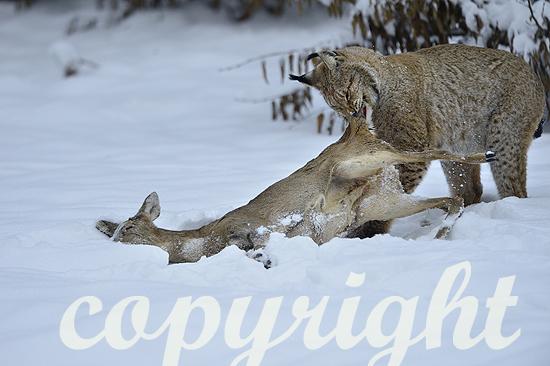 Luchs im Winter