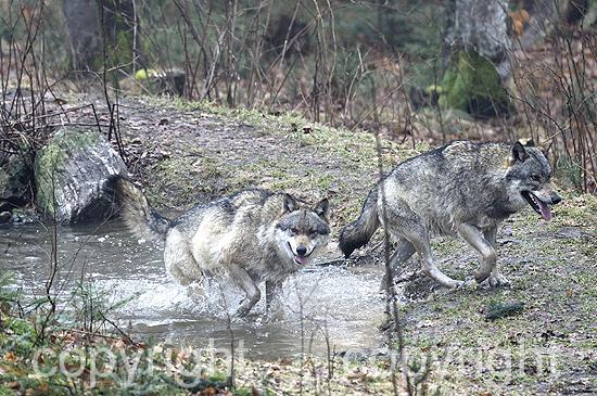 Wolf, Wölfe