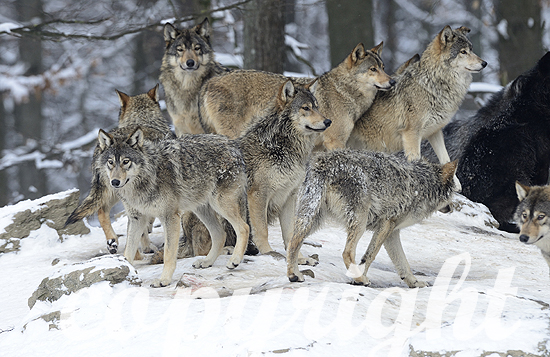 Wolf, Timberwolf