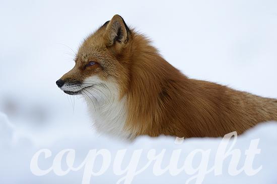 Fuchs, Rotfuchs