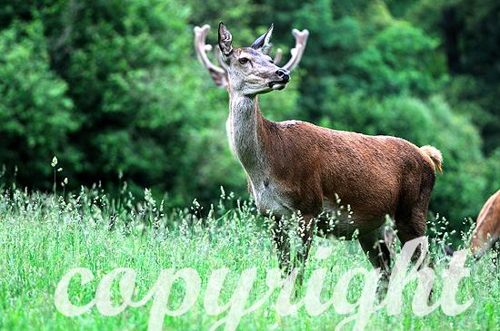 Rotwild auf frühsommerlicher Waldwiese