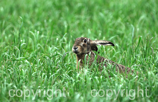 Feldhase auf Sommerwiese