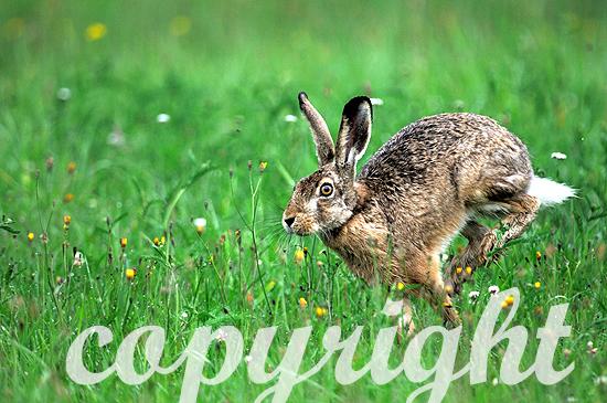 Hase auf Blumenwiese