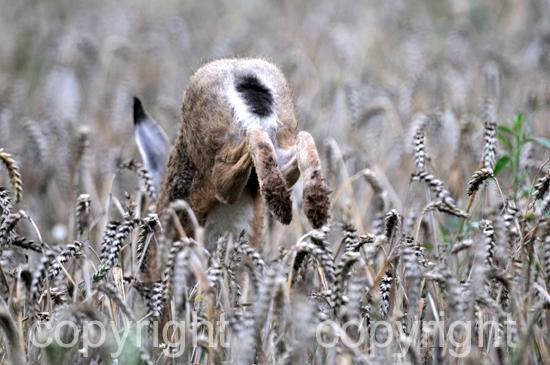 Hase, Feldhase im Weizenfeld