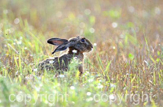 Hasen im frühen Morgenlicht auf abgeerntetem Feld