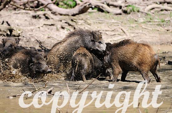 Wildschweine an und in der Suhle