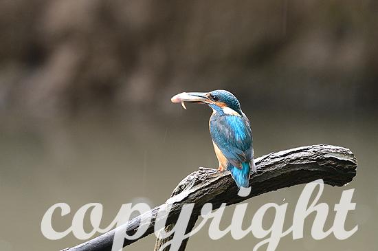 Eisvogel