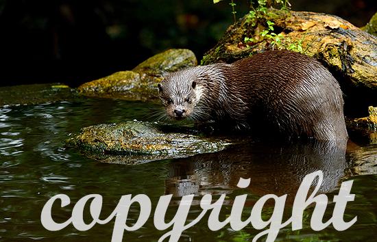 Fischotter, Otter