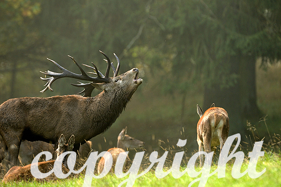 Rothirsch-Brunft