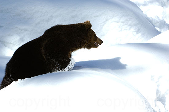Braunbär - Ursus arctos