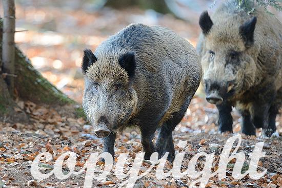 Wildschwein, Sauen