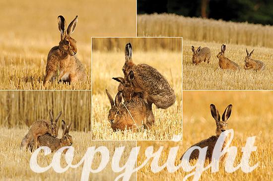 Montage Paarung Hasen Version1