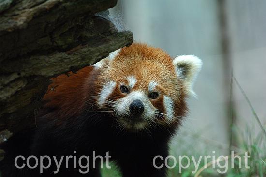 Kleine Panda - Ailurus fulgens