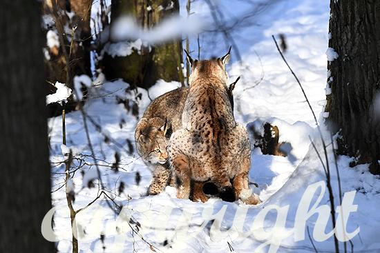 Luchse im Winter