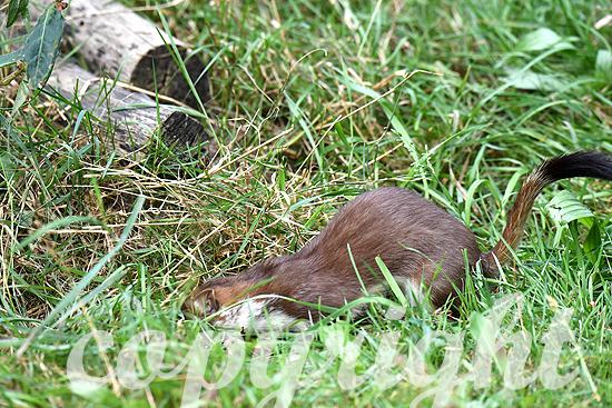 Hermelin, Großes Wiesel