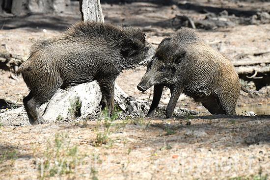 Wildschweine Suhle