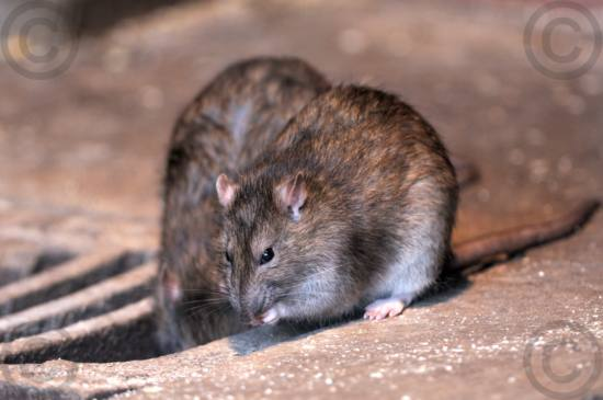 Ratten, Wanderratten DSD_0286