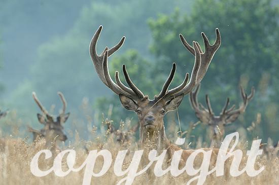 Rothirsch - Cervus elaphus