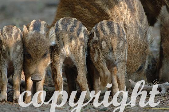 Wildschwein - Sus scrofa scrofa
