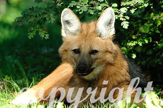 Mähnenwolf, Chrysocyon brachyurus