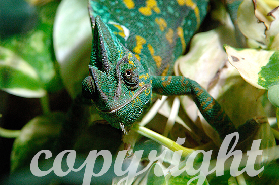 Jemenchamäleon - Chamaeleo calyptratus