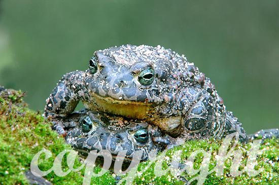 Wechselkröte - Bufo viridis
