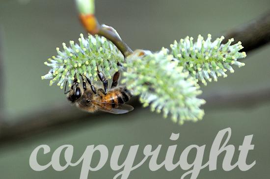 Sal-Weide - Salix caprea