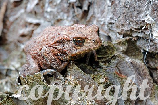 Erdkröte - Bufo bufo