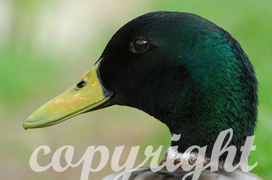 Stockente - Anas platyrhynchos