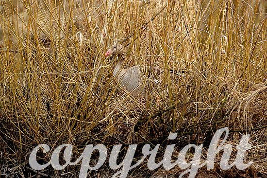 Graugänse kehren im Spätwinter zu ihren Brutgebieten in Franke
