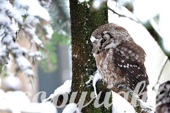 Raufußkauz in einer verschneiten Fichte, Winter