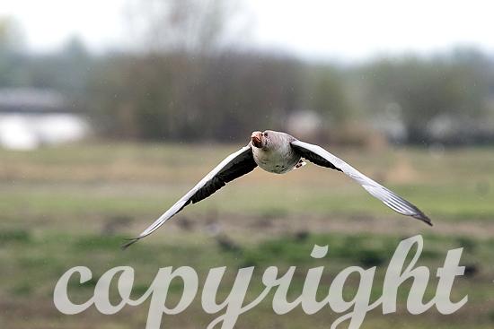 Graugänse im Frühjahr, Flug