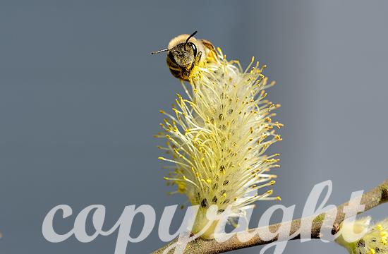 Kätzchen der Sal-Weide mit Honigbiene