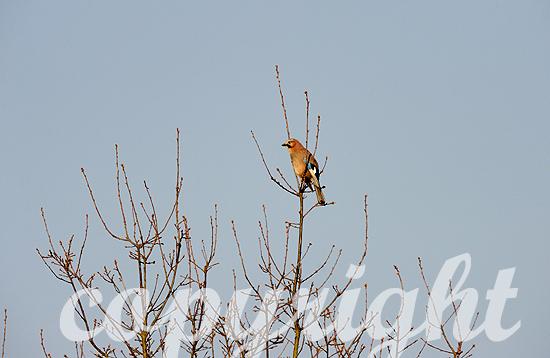 Eichelhäher auf knospender Weide Anfang April