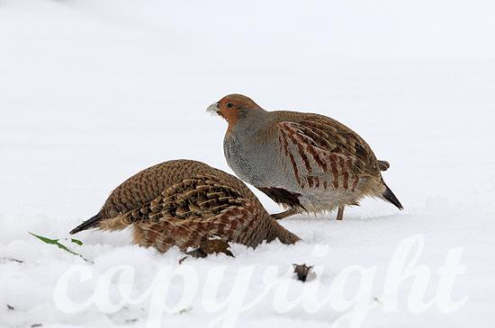 Rebhühner im Winterschnee auf Futtersuche in Franken, Bayern
