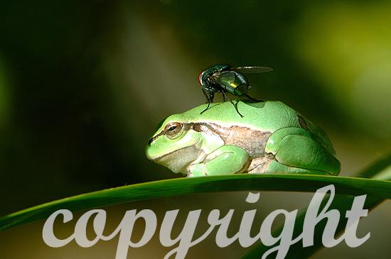 Laubfrosch - Hyla arborea
