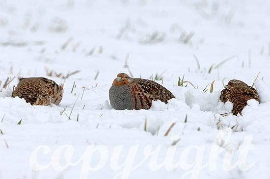 Rebhühner im Winterschnee auf Futtersuche