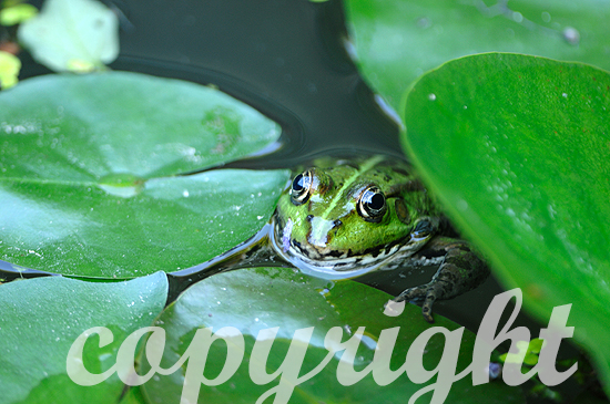 Teichfrosch zwischen Wasserpflanzen im Wasser