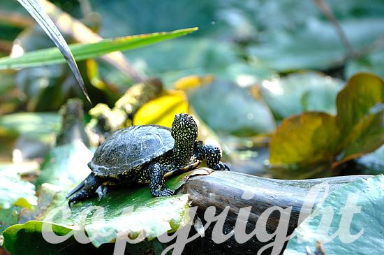 Europäische Sumpfschildkröte am Wasser beim Sonnenbaden