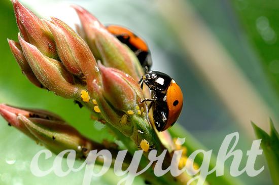 Marienkäfer auf Oleanderblüte mit Blattläusen