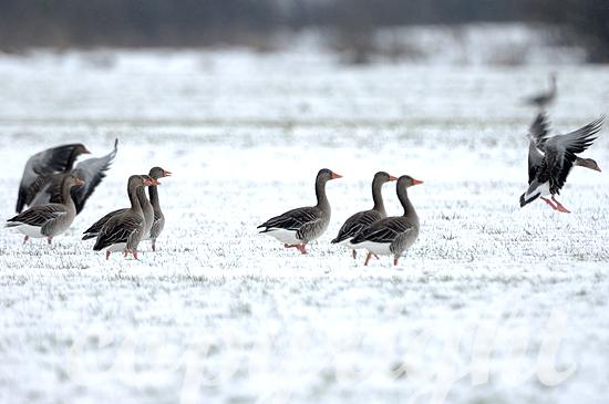 Graugänse äsen auf einem verschneiten Feld die Wintergerste